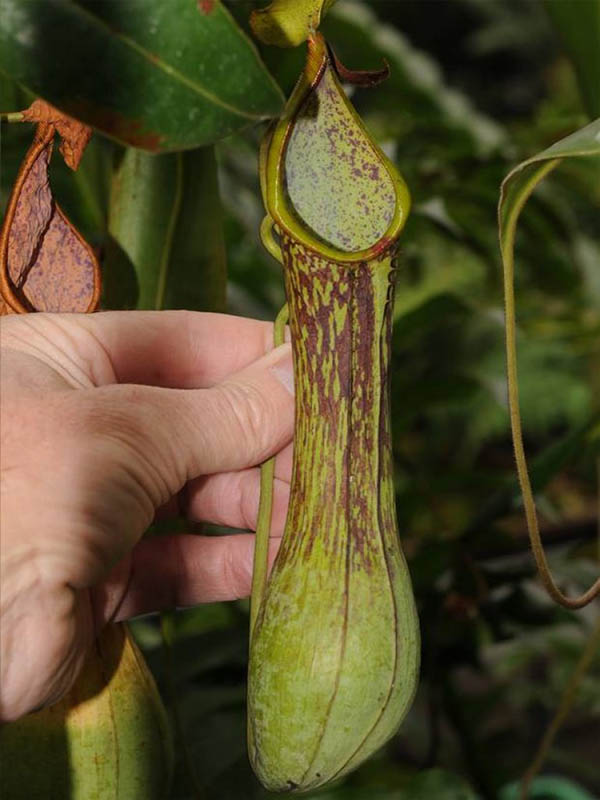 Nepenthes zygon