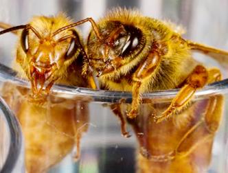 Королева (справа) вырастает на другом корме, чем рабочая пчела (слева)