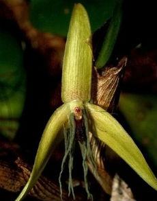 Новичок произрастает в лесах на высоте 240-300 метров над уровнем моря и является эпифитом, то есть использует деревья как опору (фото Jaap Jan Vermeulen)