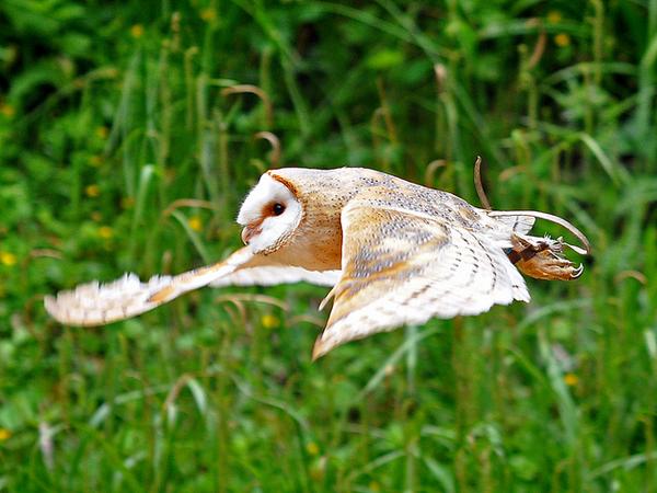 Сипуха в полёте (фото WiltshireYan)