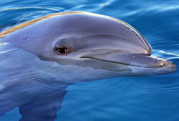 Не исключено, что дельфины давно заговорили бы с нами на нашем языке, если бы их голосовой аппарат позволил им это. (Фото Sheba_Also.)
