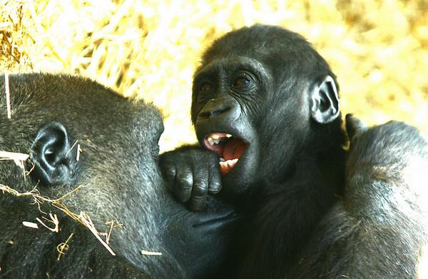 «Смех» гориллы во время игры (фото Réjôme)