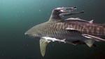 Тигровая акула и спутники-прилипалы (фото RedCineUnderwater)